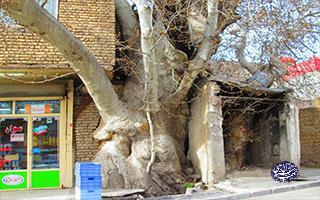 چنار-جیلارد-تهران-شناسی
